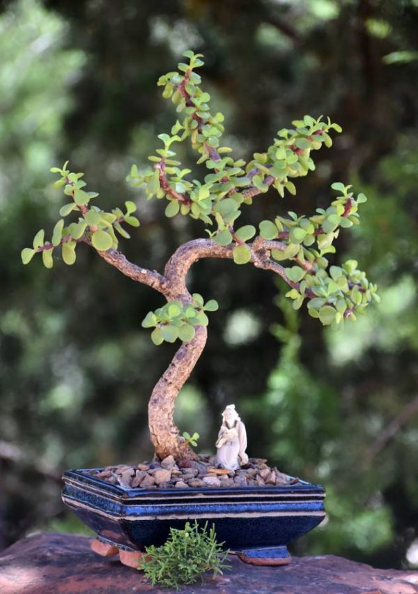 Bonsai Tree - Crassula Jade